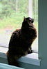 Lucy in the Window (~ Liberty Images) Tags: pet animal critter cat feline kitty window catsandwindows lucy puff tortie