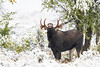 Flehmening Moose (Khurram Khan...) Tags: flehmening flehmenresponse moose rutting grandtetonnationalpark wildlife wildlifephotography wild wwwkhurramkhanphotocom winter snow iamnikon ilovewildlife ilovenature nikonnofilter khurramkhan deer trees