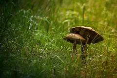 Mushrooms (Mads S. Hansen) Tags: nikon d7100 70300mm sweden nature natural light mushroom
