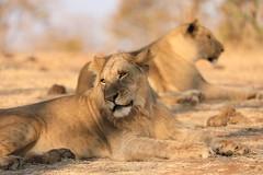 Lion and Lioness in the Wild Zimbabwe Africa (eriagn) Tags: lion lioness zimbabwe hwange ngairehart ngairelawson eriagn wildlife africanwildlife africanlion travel traveller adventure safari victoriafalls zambia zambezi animal mammal carnivore bigfive bigcat feline savanna exploreunexplored