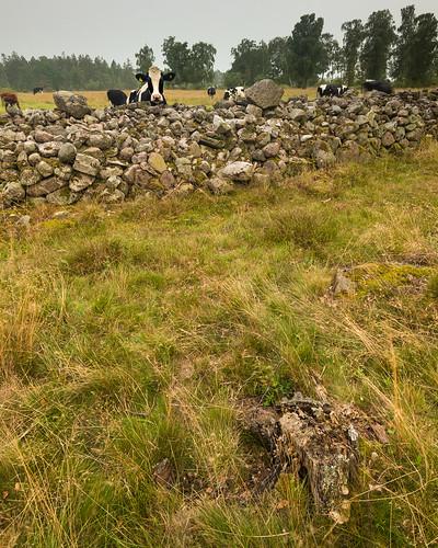 Kor i Sjöhagen