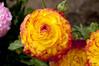 Ranunculus (Pat Durkin OC) Tags: ranunculus flower yellow red persianbuttercup ranunculusasiaticus