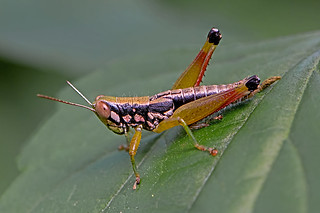 Unidentified Oxyinae sp. - a short-horned grasshopper