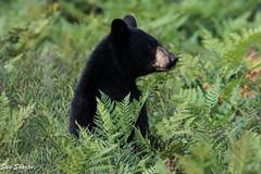 Black Bear (Sue D Sharpe) Tags: bear blackbear standing eating blueberries ferns algonquinpark ontario