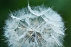 little parachutes (-justk-) Tags: flower seeds parachute nature pappus dandelion