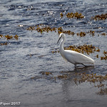 Little Egret thumbnail