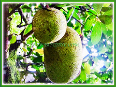 Fruits of Artocarpus heterophyllus hanging on its branches (jayjayc) Tags: flickr17 jaycjayc malaysia kualalumpur artocarpusheterophyllus jackfruit jacktree jakfruit nangkainmalay tropicalplant floweringplants yellow green perennials fruits trees