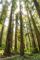 Elders (Aaron Fredericy) Tags: redwoods redwoodsnationalpark redwoodsnationalforest hiking california green summer forestfire smoke pacificnorthwest pnw camping explore