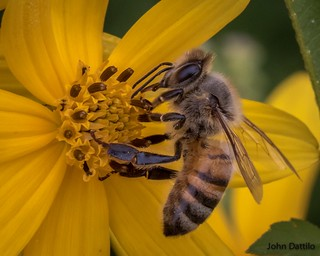 Honey bee at Muscatatuck NWR