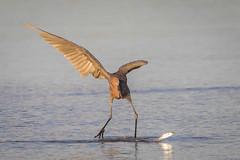 Last Dance (gseloff) Tags: reddishegret feeding fish mullet bird wildlife nature surf water gulfofmexico bolivarflatsshorebirdsanctuary galvestoncounty texas forjasmine gseloff