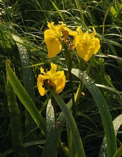Gelbe Schwertlilie (Iris pseudacorus); Bergenhusen, Stapelholm (14a)