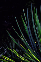_MG_2008.CR2 (jalexartis) Tags: yucca yuccaplant shrub shrubbery nightphotography night nightshots dark lighting camranger lumecube