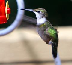 Quandry ? (Reid2008) Tags: hummingbird irma hurricaneirma wind strongwinds