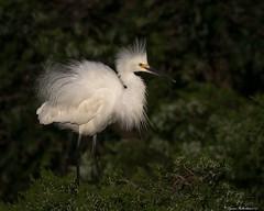 SnowyOC1 (lfalterbauer) Tags: outdoor bird canon snowyegret 7dmarkii ocean rookery oceancity jerseyshore nature wildlife wetlands heron