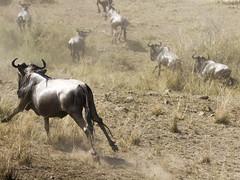 Migracao GNU - Travessia do Rio Mara 37 (Joao Pena Rebelo) Tags: tanzania gnus wildebeest migration safari serengeti wildebeests marariver