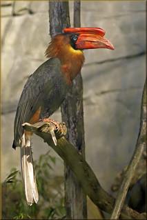 Philippine rufous hornbill