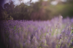 freelensed lavender (KieraJo) Tags: canon 5d mark 3 iii 5d3 fullframe dslr utah logan cache valley photographer photographers millville lavender apple farm beautiful sky golden hour field freelens freelensing freelensed free lens lensing