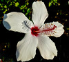 casting shadows (ranchodon) Tags: flower white hyacinth garden nature shadows hibiscus