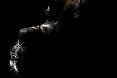 39/52 - Chiaroscuro (Valentina Conte) Tags: porthos chiaroscuro lightanddark shadows light profile dog darkness boxer muzzle nose animal pet portrait closeup canon100d rebelsl1 valentinaconte 52weeksfordogs 3952
