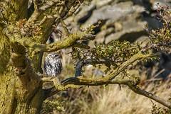 Little Owl. ( Explored.) (nondesigner59) Tags: athenenoctua littleowl wildlife owl nature bird tree copyrightmmee eos7dmkii nondesigner nd59