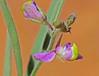 CAE006012a (jerryoldenettel) Tags: 170917 2017 darkmilkwort fabales grantco nm polygala polygalaobscura polygalaceae rosids velvetseedmilkwort velvetseedmilkwortatblackhawkcanyon wildflower flower milkwort