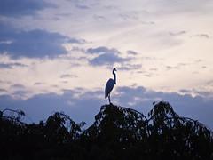 Blue heron at dusk | 夕暮れのアオサギ (over_frost) Tags: 夕暮れ 逆光 シルエット 鳥 鷺 サギ 秋 9月 日本