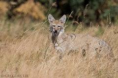 Coyote (Gregory Lis) Tags: coyote canislatrans lunchtime lunch gregorylis grzegorzlis gorylis nikond810 nikon britishcolumbia