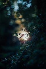 the brightest lights IV (culuthilwen) Tags: sonyalpha230 autorevuenon autorevuenon55mmf14 bokeh revuenon revuenon55mmf14 vintagelens 55mm 55mmf14 f14 dof light leaves foliage green goldenhour nature sonysti forest blurry m42