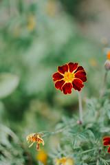 red flower (Simona Svalina) Tags: flower flowers nature garden beautiful ph photography nikon d7200