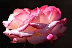 DSC_0037 : My Garden Spring 2017 (aciamax) Tags: aciamax mygarden flowers blossom bulbs hellebors spax fressias melbourne victoria australia roses camellias daffodils