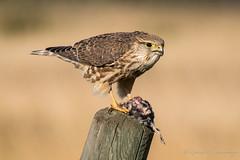 Merlin (Turk Images) Tags: falcocolumbarius merlin alberta birds falconidae falcons merl fall migration prairie raptor