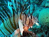 Lionfish (markb120) Tags: lionfish fish animal fauna straps sea water underwater diving scuba israel
