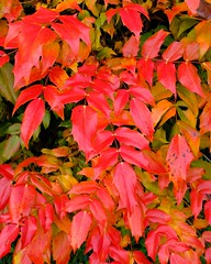 Mahonia (velodenz) Tags: velodenz fujifilm x100f mahonia bush shrub vivid bright colour color nature garden garten jardin