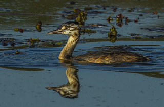 Great crested grebe - youngster