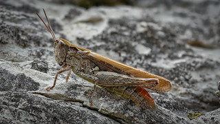 Nachtigall-Grashüpfer (Chorthippus biguttulus)