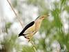Little Bittern (Corine Bliek) Tags: bird birds vogel vogels wildlife nature natuur rare zeldzaam water reeds rietlanden ixobrychus minutus ixobrychusminutus