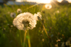 Golden Evening (Ranveig Marie Photography) Tags: dandelions midbrød eigerøy evening sunshine sunset golden field grass løvetann sunrays flare