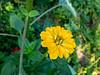 Yellow zinnia (Elise de Korte) Tags: fr france frankrijk ldf lafrance bloei bloeien bloem bloemen fleur fleurs flower flowers garden groentetuin jardin moestuin plant potager tuin vegetablegarden veggiegarden zinnia
