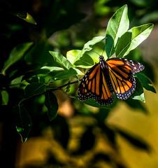 Cooler Orange (Portraying Life, LLC) Tags: dbg6 da3004 hd14tc k1 michigan pentax unitedstates butterfly closecrop handheld nativelighting