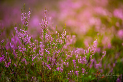 Just some heather ;) (B.AA.S.) Tags: commonheather nature natur norway norge skog forest farger purple beautyinnature plant summer forestfloor closeup 2017