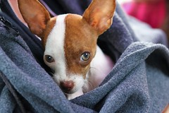 Love is a four legged word (stellagrimsdale) Tags: chihuahua puppy dog cute eyes