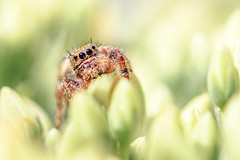 Good Morning Sunshine (Neil_Wagner) Tags: jumping spider cute reflection