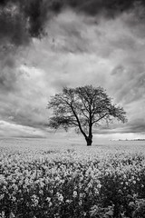 Gainford Monochrome Rapeseed Field (Portrait). (Mike Atkinson Photography) Tags: ruby10 ruby15 ruby20