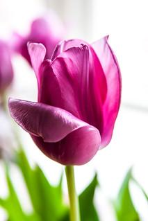 crystal tulip