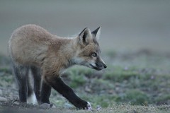 Fox kit exploring (listening_to_land) Tags: foxes redfoxes wildcanines