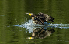 Great cormorant (Bojan Žavcer) Tags: great cormorant phalacrocoraxcarbo wildlife nature canoneos7dmarkii ef600mmf4lisusm birdwatcher