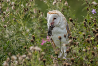 Barn Owl with mouse 500_1671.jpg