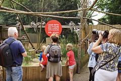 Zoo - London (Magdeburg) Tags: zoo london zoolondon katta ringtailed lemur ringtailedlemur ring tailed