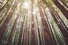 Bosque de Secuoyas (Raul Piki Bolukua) Tags: secuoyas tree bosque forest rain sunlight high land colors nature green brown art visual rural nikon d3200 cantabria spain sigma1020