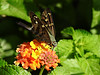 Hesperiidae: Urbanus proteus - Long-tailed Skipper (William Tanneberger) Tags: hesperiidae urbanus urbanusproteus longtailedskipper skipper butterfly pittspark wdtaugust